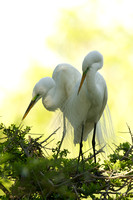 Great Egrets, nesting pair