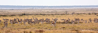 Springbok grazing in the Etosha veldt