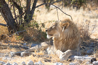 Male lion resting in the shade
