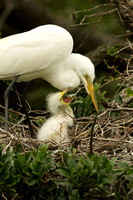 Great Egret with begging chick
