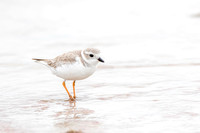 Piping Plover - Bunche Beach 15Jan2015
