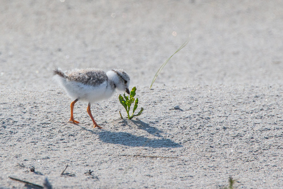 Piping Plover chick explores newfound world