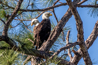 "Bald Eagles, ""Ozzie and Harriet"" - N. Fort Myers 17Jan2015"