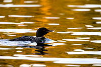 Loon on golden water