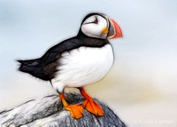 Atlantic Puffin, loafing