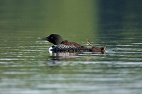 loon chick tries out the foot waggle