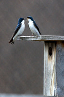 Tree swallows- turf argument Round 1