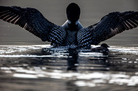 Loon wing flap over chick